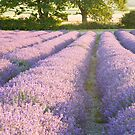 Lavender fields at Hartley Park Farm, Alton, Hampshire, England by Ian Middleton