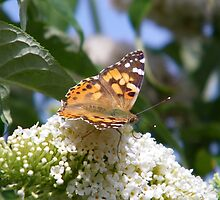 Butterfly on Buddliea by LoneAngel