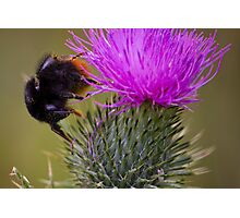 Mr Bumble Photographic Print