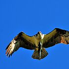 I Won't Share, I Mean it! Montana Osprey by Donna Ridgway