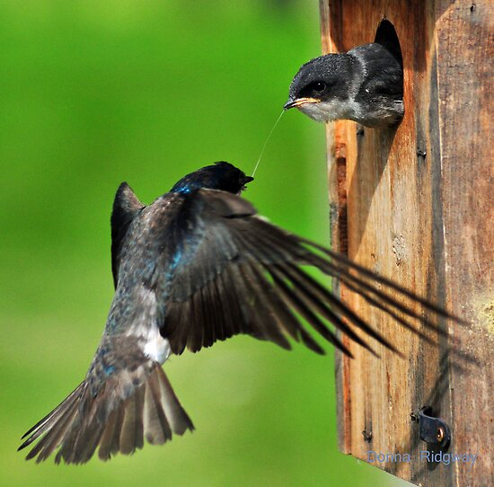 Tug O War, Swallows in Montana by Donna Ridgway