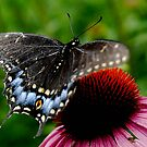 Black Swallowtail by triciamary