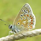 Small Common Blue Butterfly by rhian mountjoy