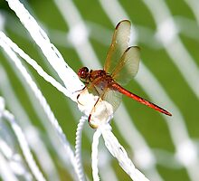 World Cup Dragonfly by Charlie