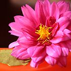 Pink Dahlia by Sheryl Kasper