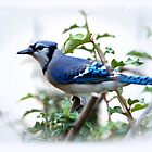 Blue Jay by Lisa G. Putman