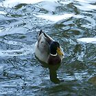Mallard in a Pond by Penny Odom