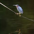 Green Heron by Jonicool