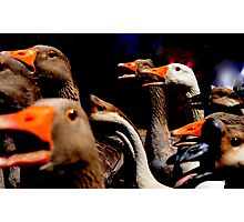 Gang of gooses. Photographic Print