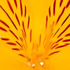 Extreme close-up of a yellow Alstroemeria by Gabor Pozsgai