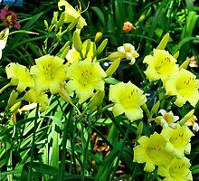 Daffodils by Hattie Lange