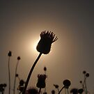 Single Stalk in SIlhouette by Keith Stephens