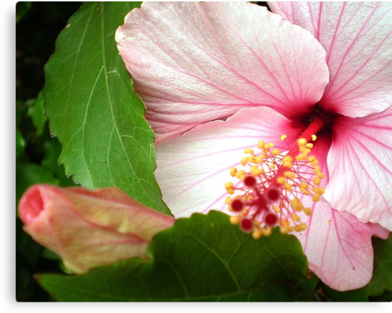 Hibiscus - Friends Spring Garden 2009 by EdsMum