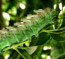 ATTACUS ATLAS CATERPILLAR by Johan  Nijenhuis