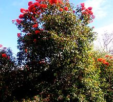Red Flowering Gum - (Corymbia ficifolia) by Chris Chalk