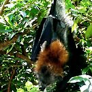 Grey-headed flying fox by Janette Anderson