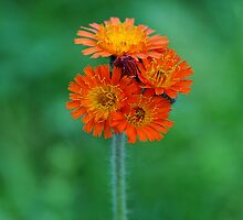 Orange Hawkweed by Lyana Votey