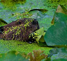 beaver and Lily Pads by (Tallow) Dave  Van de Laar