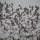Sandhill Cranes in Flight 3 by Krimsin