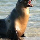 Sealion Sunning by Jane McDougall