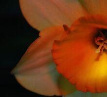 Daffodil by Terri-Anne Kingsley