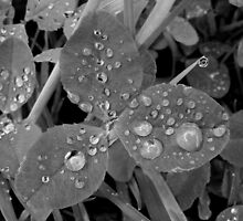 raindrops on clover by purpleminx