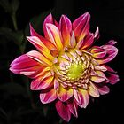 Dahlia In Bloom by Hank Eder