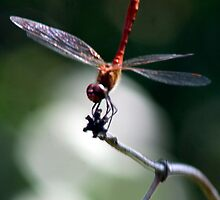 Dragon-fly by Antanas