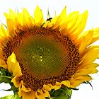 Sunflower, Bee, and Water by FFRPhoto