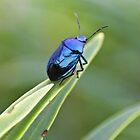 Blue mint beetle by missmoneypenny