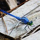 Blue Dragonfly by AuntDot