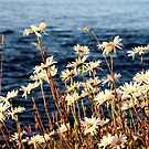 daisies by the sea by TerrillWelch