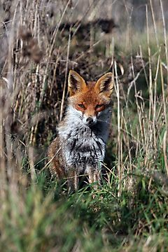 Fox in grass by Peter Barrett