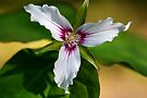 Painted Trillium by Stephen Beattie