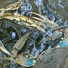 blue crabs by David Chesluk