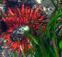 Vermillion Sea Urchin by CarrieAnn