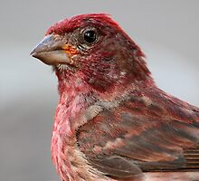 A Close Encounter Of The Bird Kind / Purple Finch by Gary Fairhead