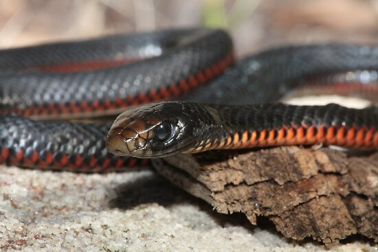 Red Bellied Black Snake Black With Red Belly Snake