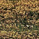 daisies in a field by Theodore Black