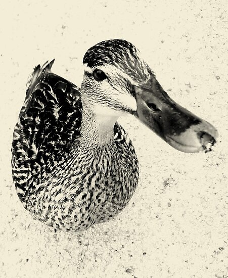 Quack! - Newstead Abbey, Nottingham by Hairypoet