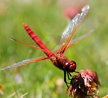 Portrait of a Cardinal Meadowhawk by Wolf Read