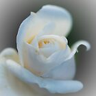 White Rose by Raymond Kundra