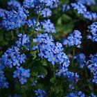 Tiny tiny tiny blue flowers by PetraJW