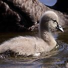 Black Swan Cygnet, quiet reflection by mosaicavenues