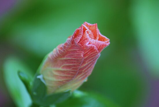 hibiscus  by ANNABEL   S. ALENTON