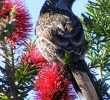 Wattle Bird on Bottle Brush.  by Esther's Art and Photography