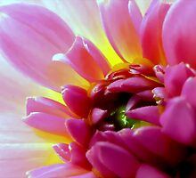 Pink Dahlia of Lovely Color by paintingsheep