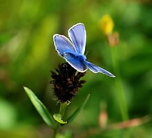 A Silver Studded Blue by Simon Pattinson