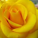 My yellow rose by Ana Belaj
