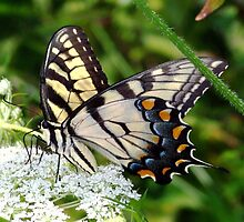 A male Eastern Tiger Swallowtail having lunch. by William Brennan